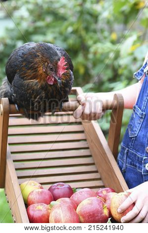 happy chicken sat looking at some apples a child is holding
