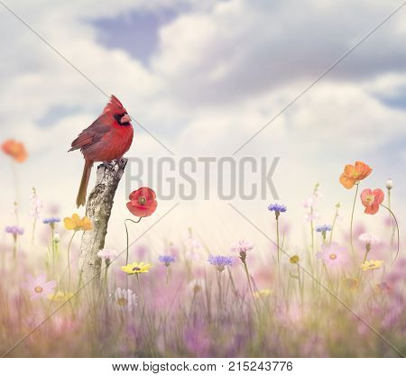 Male Northern Cardinal in a flower field