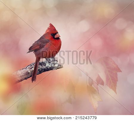 Male  Northern Cardinal perching on a branch