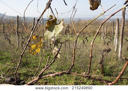 Leaves grapes in the vineyard with nature. grape leaf autumn