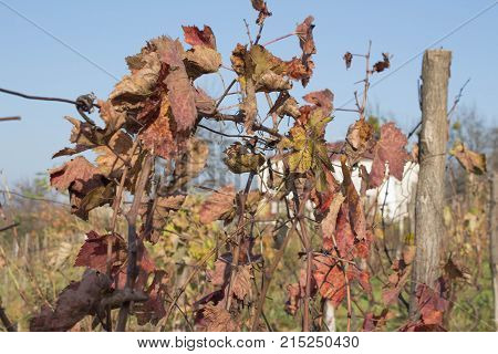 Photo of grape leaves background autumn after harvest season. vineyard valley fruit plant farming nature fall foliage autumnal grapes branch