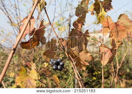 Red and yellow autumn grape leaves vineyard. Rows of Grape vines some with grapes still hanging