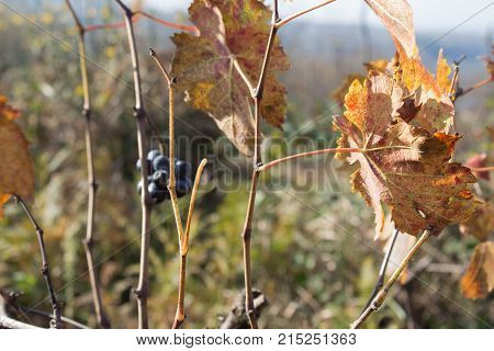 Leaves grapes in the vineyard with nature. Rows of Grape vines some with grapes still hanging. Grape plant with yellow leaves