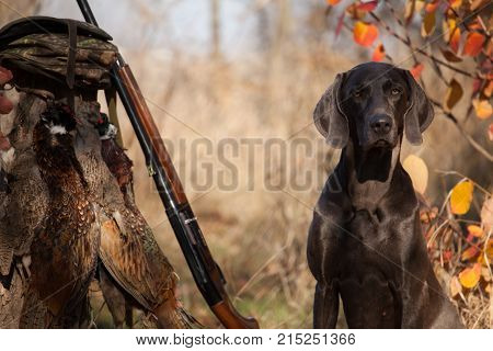 the dog breed Weimaraner is a hunting trophy