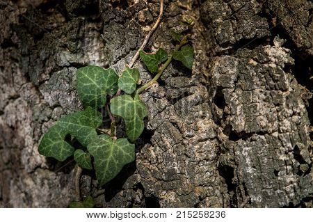 Montescudaio, Pisa, Italy - October 19, 2017 - Ivy Attached To The Bark Of The Secular Oak , Hikers