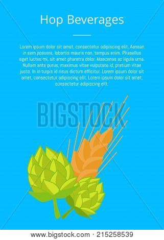 Hop beverages poster with hops and golden ears of wheat vector illustrations. Plants cultivated for use by brewing industry, flavor ingredients in beer