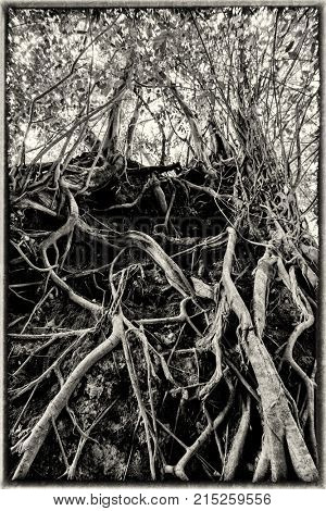 Vintage editing of tropical fig Banyan tree roots
