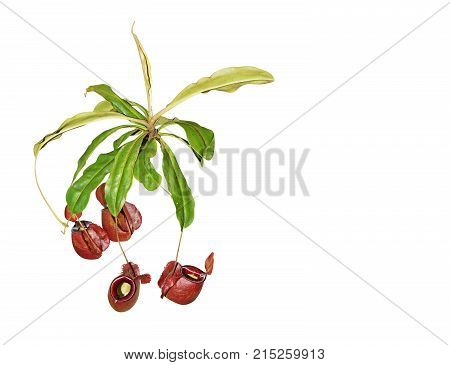 Nepenthes Rajah or Carnivorous Plant Isolated on White Background Clipping Path