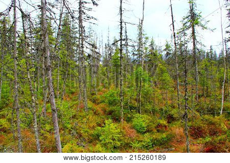 landscape with swamp in the Carpathians forest with fir-trees