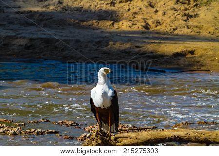 Fisher Eagle on shores of Grumeti River. Waters of Serengeti, Tanzania