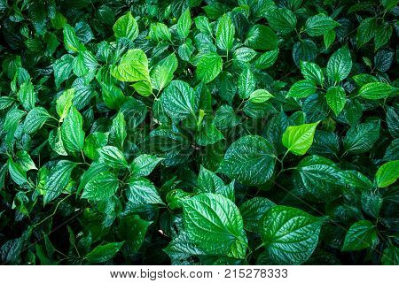green leaves background from top view ,Piper sarmentosum or Wildbetal leafbush, Thai herb