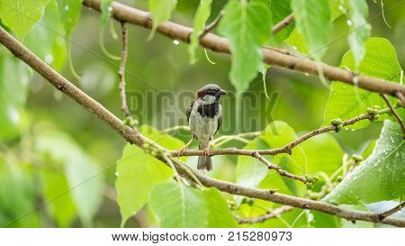 Bird (house Sparrow) On Tree In A Nature Wild