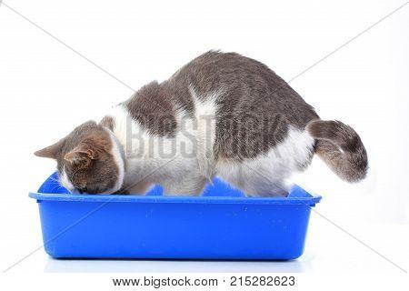 Animal pet cat litter box. Pet in studio. Domestic cat with blue litter box. Blue cat toilet. Blue pet wc with cat.