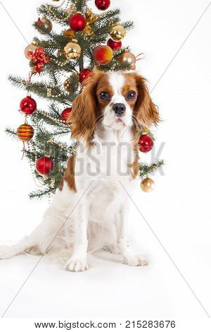 Christmas dog. Cavalier king charles spaniel with christmas tree. Cute.