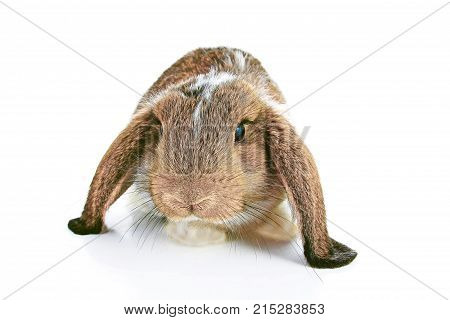 Agouti rabbit lop on isolated white studio background. NHD young baby bunny. Cute lop eared pet rabbit. Cute Animal photos.