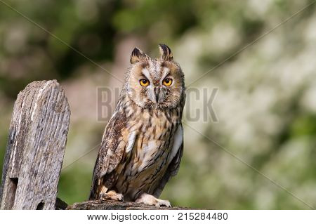 Long - eared owl perching on a post in the countryside in England.