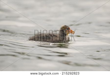 Coot Juvenile Swimming On A Loch In Scotland