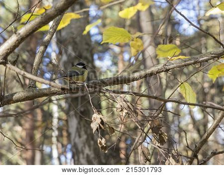 Blue Tit, Black And Yellow Songbird Sitting On The Nice Lichen Tree Branch