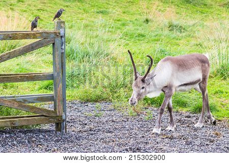Reindeer In Corral And Common Starling On Fence
