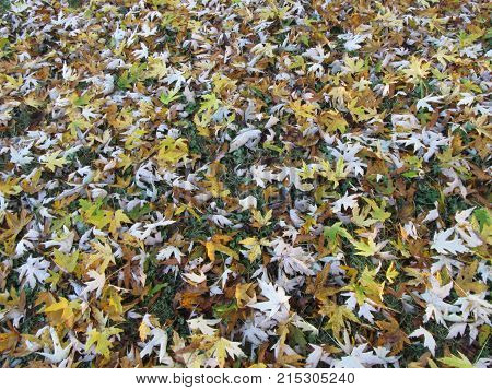 Yellow Paw-Paw leaves on the grass in Autumn.