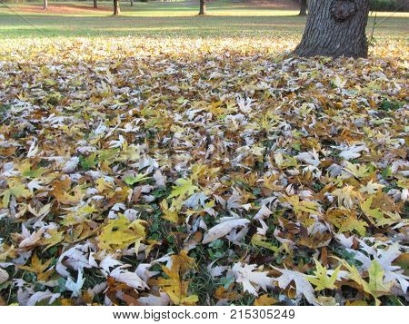 Yellow Paw-Paw leaves at a park in Autumn.