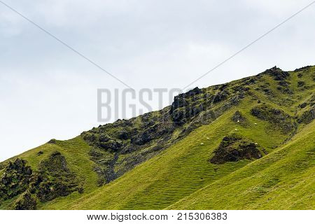 Green Mountain Slope With Icelandic Sheep