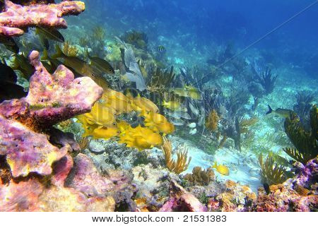 caribbean coral reef in Mayan Riviera with Grunt fish yellow blue stripes