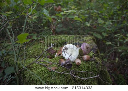 The stump in forest is completely covered with green moss on the stump acorns Mushrooms. Forest background