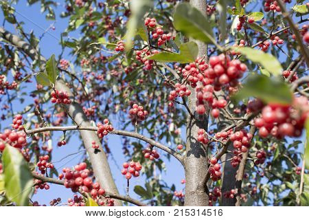 Homey red berries tree. tree with red ripe berries at autumn. background nature