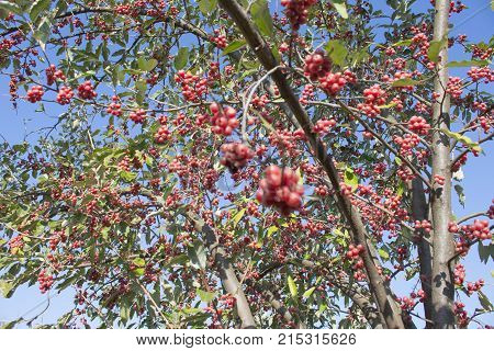 Tree leaves with red berries on blue sky background at autumn. Close-up of red berrys on twig