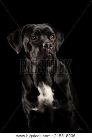 Portrait Of A Cane Corso Dog Breed On A Black Background. Italian Mastiff Puppy.