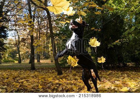 Portrait Of A Cane Corso Dog Breed On A Nature Background. Dog Playing On The Grass With Colored Lea