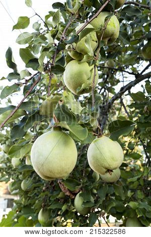 Quince tree Cydonia oblonga is deciduous tree that bears a pome fruit similar to a pear or apple with a bright golden yellow colour when mature.