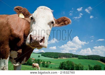 Cow looking at Camera