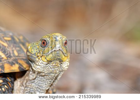 A portrait of a ornate box turtle with an unusal lump on the side of its head.