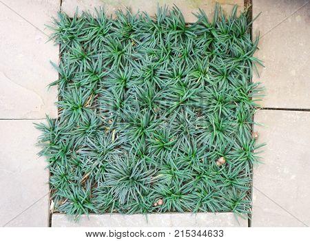Mini Mondo Grass or Snakes Beard plant