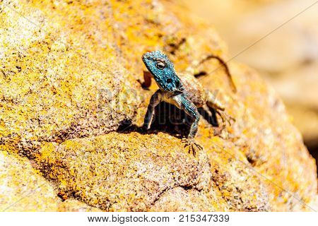 Southern Rock Agama lizard, or Agama Atra, with its blue metallic colered head on a colorful yellow-orange rock at Blyde Canyon along the Panorama Route in Mpumalanga Province of South Africa