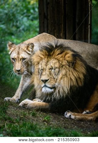 Male and female of Barbery lion (Panthera leo leo) wild life animal