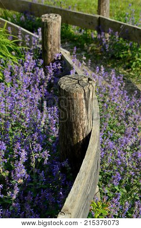 Old wooden fence and  Nepeta with way for walk