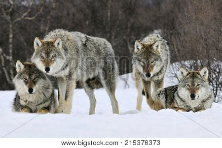 fore wolf two sitting and two stand
