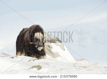 Male musk ox standing in the mountains of Dovrefjell in tough winter conditions in Norway.