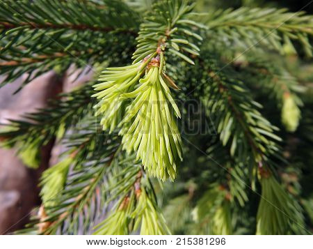 Green spruce twig - closeup , (Picea abies)