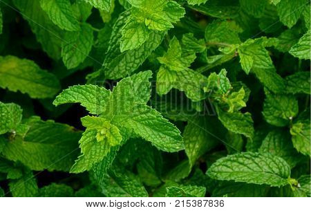 Fresh Spearmint, One of the most popular and invigorating types of tea.