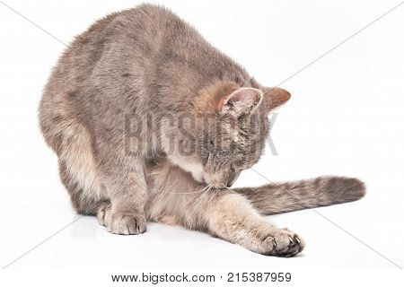 The cat licks a leg on a white background. The gray domestic cat sits and washes with tongue licks a hind leg.