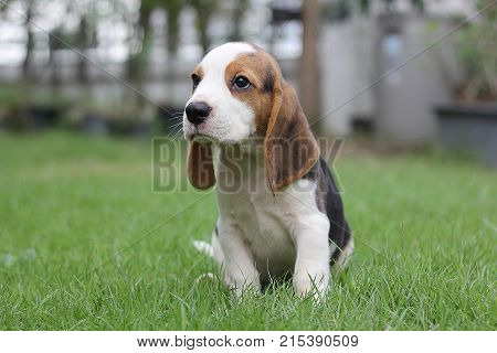 dog Beagle early in the morning at sunrise,Seven weeks old  cute dog lying on green grass,cute little beagle puppy,  Portrait cute dog,small cute beagle puppy dog looking up