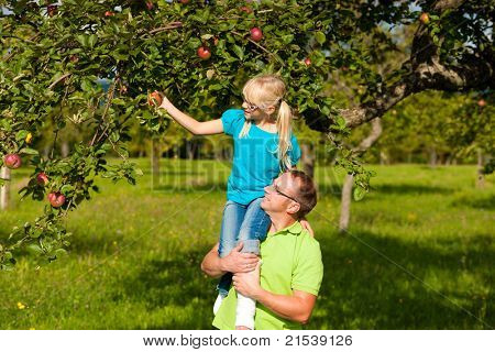 Father and daugther on his shoulders harvesting apples in a garden on a sunny day