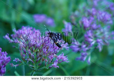 Nine spotted moth sitting on pink flower