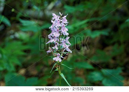 Wild Dactylorhiza orchid spotted near Lake Bohinj Slovenia