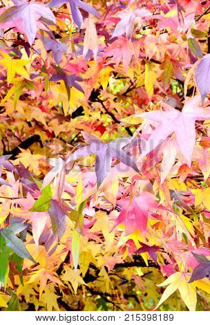 Many color of American sweetgum leaves on tree with full frame