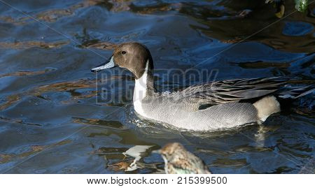 Male Northern Pintail in a Central Park pond..